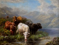 Highland Cattle Watering