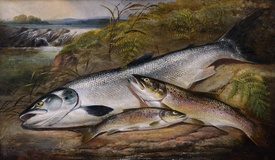 Still Life of Salmon and Trout
